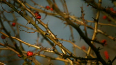 Red berries thorny branches Stock Footage
