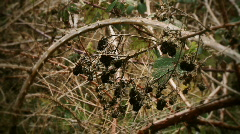 Dried Blackberry Bush Stock Footage