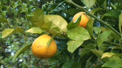 Orange tree - stock footage