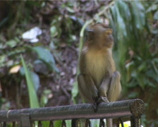 Young Monkey Stock Footage