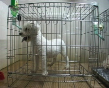 Poodle in cage. - stock footage
