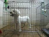 Stock Video Footage of Poodle in cage.
