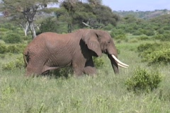 Elephant male walking Tarangire - stock footage