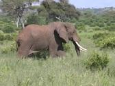 Elephant male walking Tarangire Stock Footage