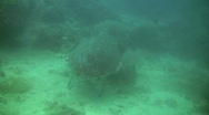 Stock Video Footage of Sea turtle (Chelonia mydas)