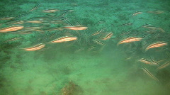 Stripped eel catfish, plotosus lineatus on a coral reef in the Philippines Stock Footage