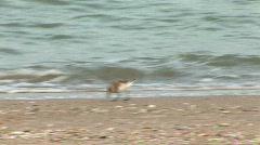 Shore birds Stock Footage