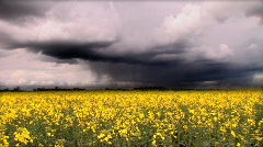 Biofuel crop with t/lapse storm clouds Stock Footage