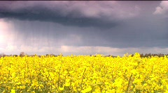 Rapeseed crop with rain cloud Stock Footage