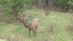 Elk shedding with velvet antlers - stock footage