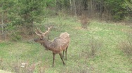 Stock Video Footage of Elk shedding with velvet antlers