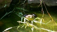 American Bullfrog Stock Footage