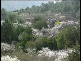 Stock Video Footage of Blooming Almond trees and Blossoms