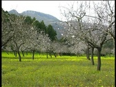 Stock Video Footage of Blooming Almond trees