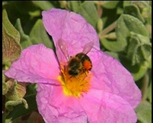 Cyst flower and Bee -  Cistus (Cistaceae) Stock Footage