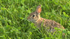 Hare 03 Stock Footage