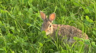Stock Video Footage of Hare 03
