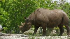 Rhinoceros standing Stock Footage