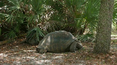Tortoise by underbrush Stock Footage