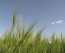Barley field Stock Footage