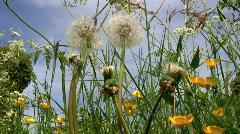 Dandelion, Taraxacum officinale during summer Stock Footage