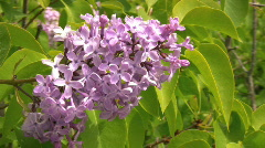Summer wildflowers Common Lilac, Syringa vulgaris in Sweden during summer Stock Footage