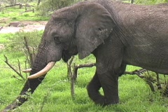 Stock Video Footage of Bull Elephant in Ruaha Park Tanzania