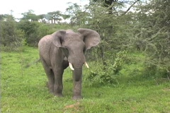 Elephant flopping ears - stock footage