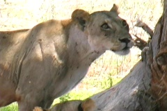 Stock Video Footage of Lion Pride in Ruaha Park