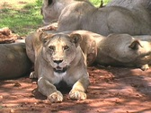 Stock Video Footage of Pride of Lions in Ruaha Park