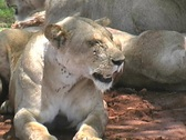 Stock Video Footage of Pride of Lions in Ruaha Park Tanzania