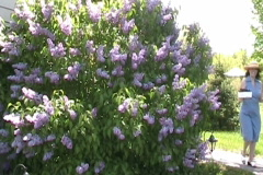 Woman Walks Past A Lilac Bush With Spring Bedding Plants Stock Footage