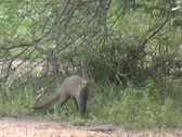 Stock Video Footage of Banded Mongoose grabs baby