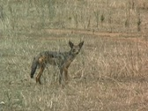 Stock Video Footage of Jackal in Ruaha Park Tanzania