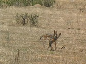 Stock Video Footage of  Jackals in Ruaha Park Tanzania