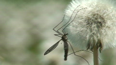 Insect on dandelion (Sow-thistle) plant Stock Footage