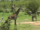 Stock Video Footage of Baby Giraffe