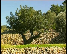 Tree and stone wall Stock Footage