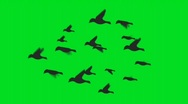 Stock Video Footage of Flock of birds on green screen - digital animation