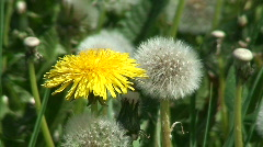 Four phases of dandelion (Sow-thistle) plant Stock Footage