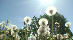 Dandelion (Sow-thistle) Stock Footage
