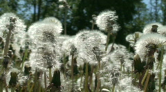 Field of dandelion (Sow-thistle) plants Stock Footage