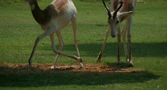 Antelope relax on grassy area Stock Footage