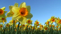 Daffodils and blue sky Stock Footage
