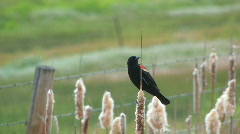 Tricolored Blackbird Stock Footage