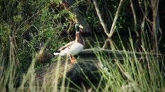 Ducks Fly Toward Camera Stock Footage