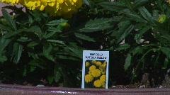 Jm326-Marigold Yellow Stock Footage