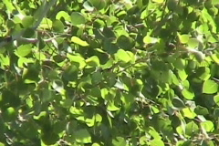 Green Leaves Blowing In The Wind - stock footage