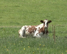 Resting cow Stock Footage