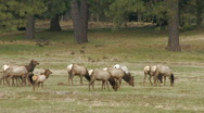 Stock Video Footage of Roosevelt Elk